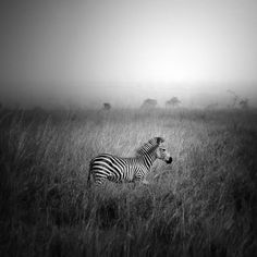 Photograph pundamilia by Andy Lee on 500px #photo #photography #zebra