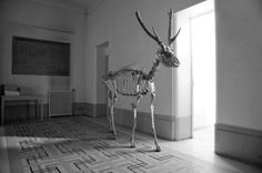 soggetti smarriti #deer #skeleton #white #photo #black #and