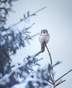 Wildlife Finland: Wild Gray Wolfs, Wolverine and Birds by Niko Pekonen