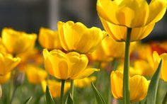 Petal Yellow Flower