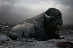 Category: Talents » Jonas Eriksson #buffalo #animal #black