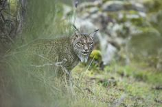 Glimpse of a lynx by Laura Albiac Vilas