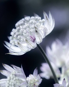 Astrantia by Hege