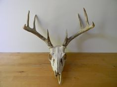 Deer Skull #craneo #deer #muertito #skull