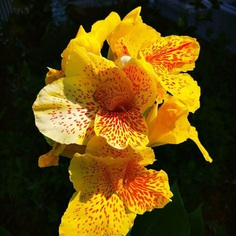 Canna Lily by Pensacola Beach