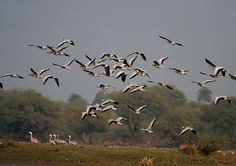 File:Bar-headed Geese- Bharatpur I IMG 8337.jpg - Wikipedia, the free encyclopedia #birds #nature #geese