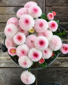 Bellis Flower Picture