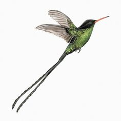 hummingbird-01_0.jpg (JPEG Image, 620x620 pixels) #illustration #bird
