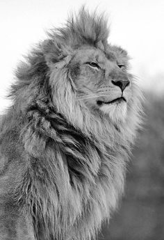 The Lion King - Junk Funk #handsome #white #pride #big #mane #cat #black #photography #and #animal #king #beauty