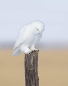 Majestic Photographs of Owls by Johnny Salomonsson