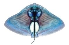 adam summers dyes fish specimens to reveal their anatomy #fish #vertebra
