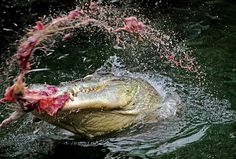 Animals in the news - The Big Picture - Boston.com #meat #crocodile #aligator