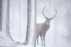 A red deer stag in a pine forest in the Cairngorms, Scottish Highlands, during a snow blizzard. The image is part of the 2020VISION photogra #deer #tree #freezing #cold #snow #stag #photography #forest #winter