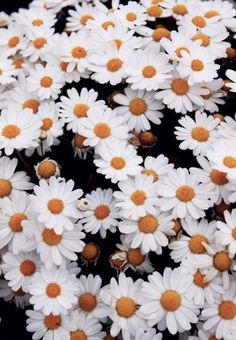 Daises #inspiration #russian #virgins #photography #carpet #flowers
