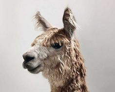 Show Animals by Toby Coulson #inspiration #photography #animal