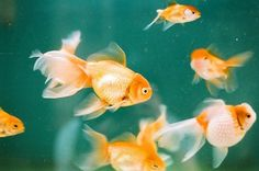 Sara Lindholm - tiger-tales: 2731_18 (by 陳嘉勵) #goldfish