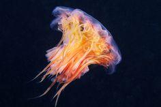 Cyanea-capillata