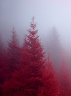 Dreamy #photography #red #pine