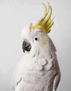 Slim Sulphur Crested Cockatoo thisispaper #photography #cockatoo #bird #portrait