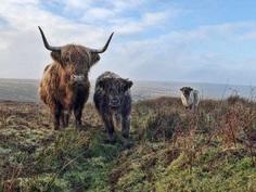 Exmoor beasts by Paul Steven