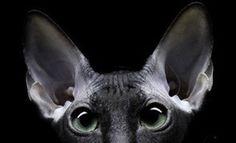 POC a POC #sphynx #cat