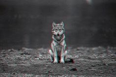 Gif of the Day » Changethethought™ #gif #wolf