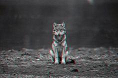 Gif of the Day » Changethethought™ #gif #wolf