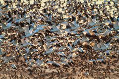 photo #flock #flight #thousands #flying #birds #photography #animals #geese