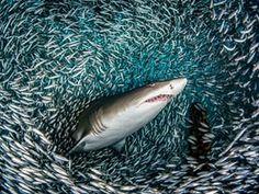南卡罗来纳州,美国摄影师Tanya Houppermans捕获了她所描述的一只一百万只沙虎鲨游泳