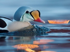 #kings_birds: Fascinating Bird Photography by Staffan Widstrand