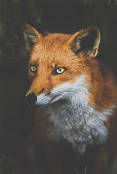 Schedvin #fox #eyes #photography #animal #beauty