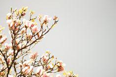 Artistic shot of magnolia tree, by Patrick Bloem #magnolia #tree #photography #nature #flower