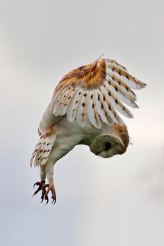 beauty is she #talons #owl #flight #bird #flying #feathers #photography #wings #beauty
