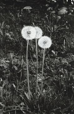 guardo le figure #photography #black and white #flowers #35mm #dandelion