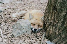 gothtabor: <3 #fox #tree #sleep #calm #photography #ears #nature #forest #animal #rest
