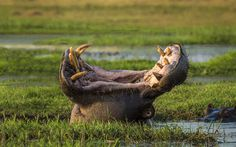 A hippo yawns in the Chobe National Park in Mozambique #photography #hippo #yawn #animal #africa #beast #massive #swamp #jaws #teeth #scary