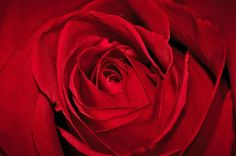 Егор Федоров #red #photo #rose #egorfedorov #photography #flowers