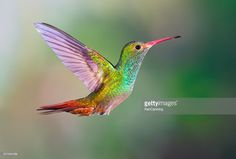 Hummingbird , Rufous-tailed : Stock Photo