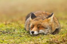 Faces of Wild Foxes by Roeselien Raimond