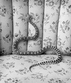 Bull Snake on Sofa .jpg (685×800) #sofa #blackwhite #snake