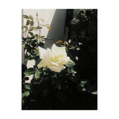 Tumblr #sun #rose #photo #flower #light