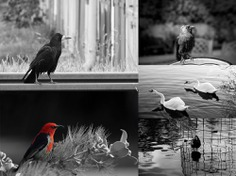 Black and White Bird Photography | PS Action