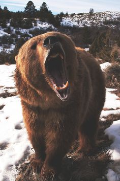 Sleepless Dreams #animal #photography #snow #bear #grizzly #teeth #roar