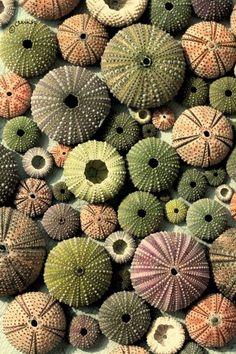 tumblr_m1b9grbTqz1qa9ddao1_500.jpg 500×750 pixels #urchins