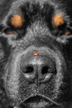 maya47000: Don't move! #nose #patience #rottweiler #insect #photography #ladybird #animal #dog
