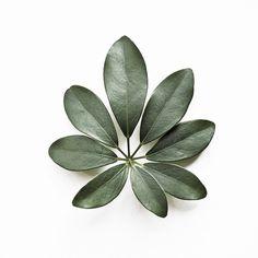Image of Eight Schefflera Arboricola #arboricola #schefflera #plant