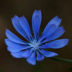 Cichorium Flower Picture