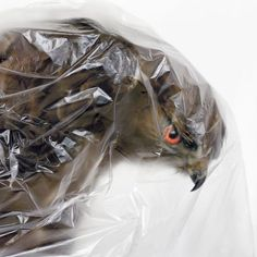 Gebeutelt - Ausgestopfte Tiere in Quarantäne - Silvio Maraini, 2008 #wrapped #of #protected #stuffed #bird #eagle #photography #cling #film #plastic #prey