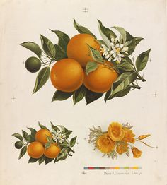 image #illustration #fruit #oranges
