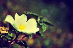 flower #nature #photo #white #yellow #leaf